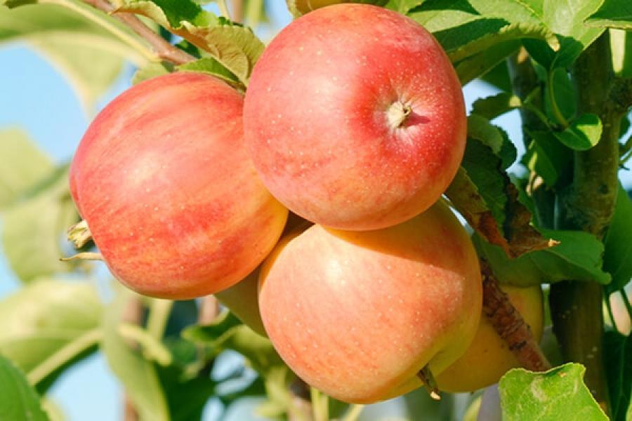Яблоня Уральский Сувенир характеристики и описание сорта выращивание