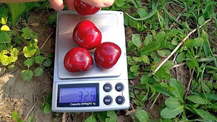 Вишня Мелитопольская десертная описание и характеристики сорта агротехника