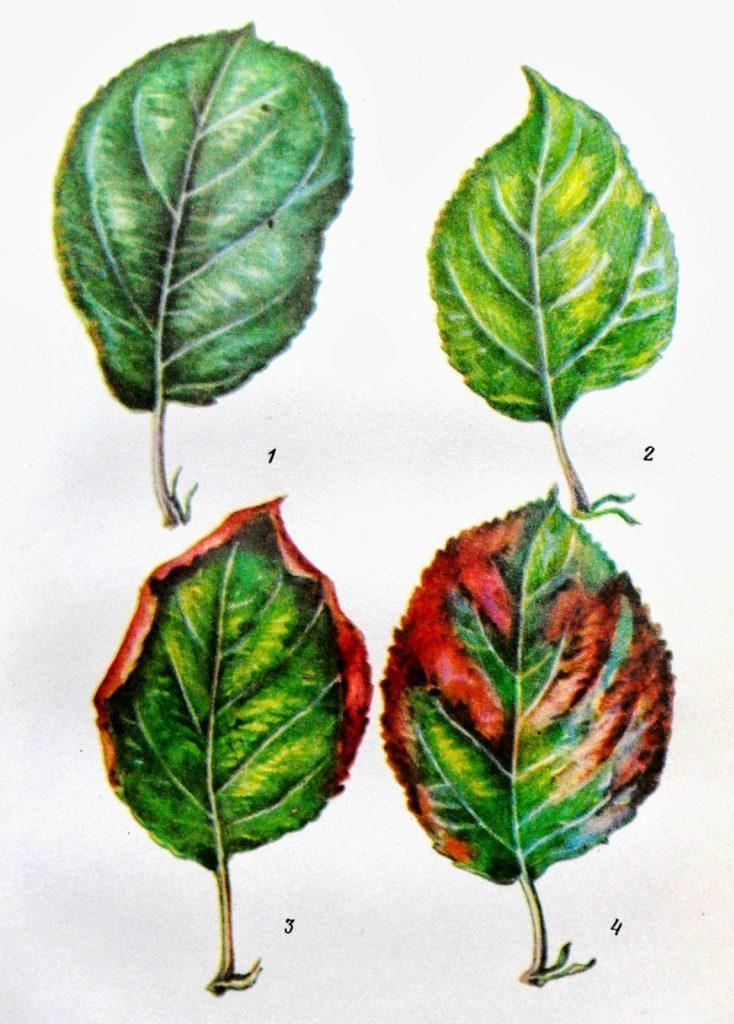 Почему листья у рассады помидор томатов вянут и скручиваются вниз и что делать
