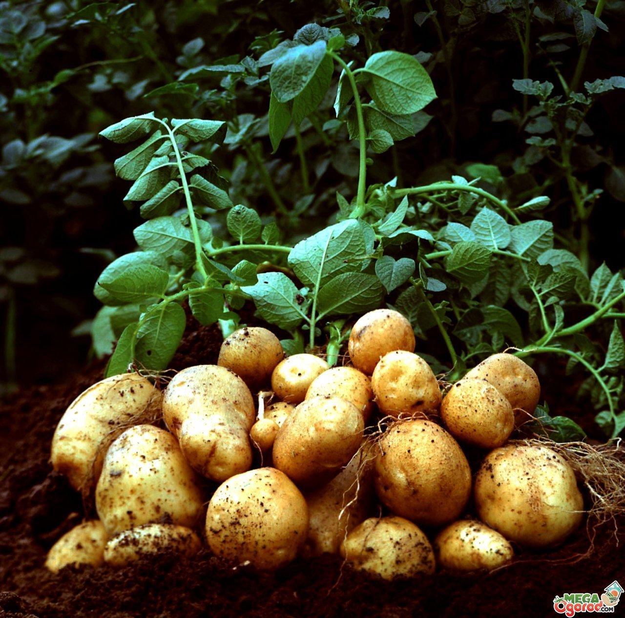 Выращивание картофеля на огороде и важные моменты при этом