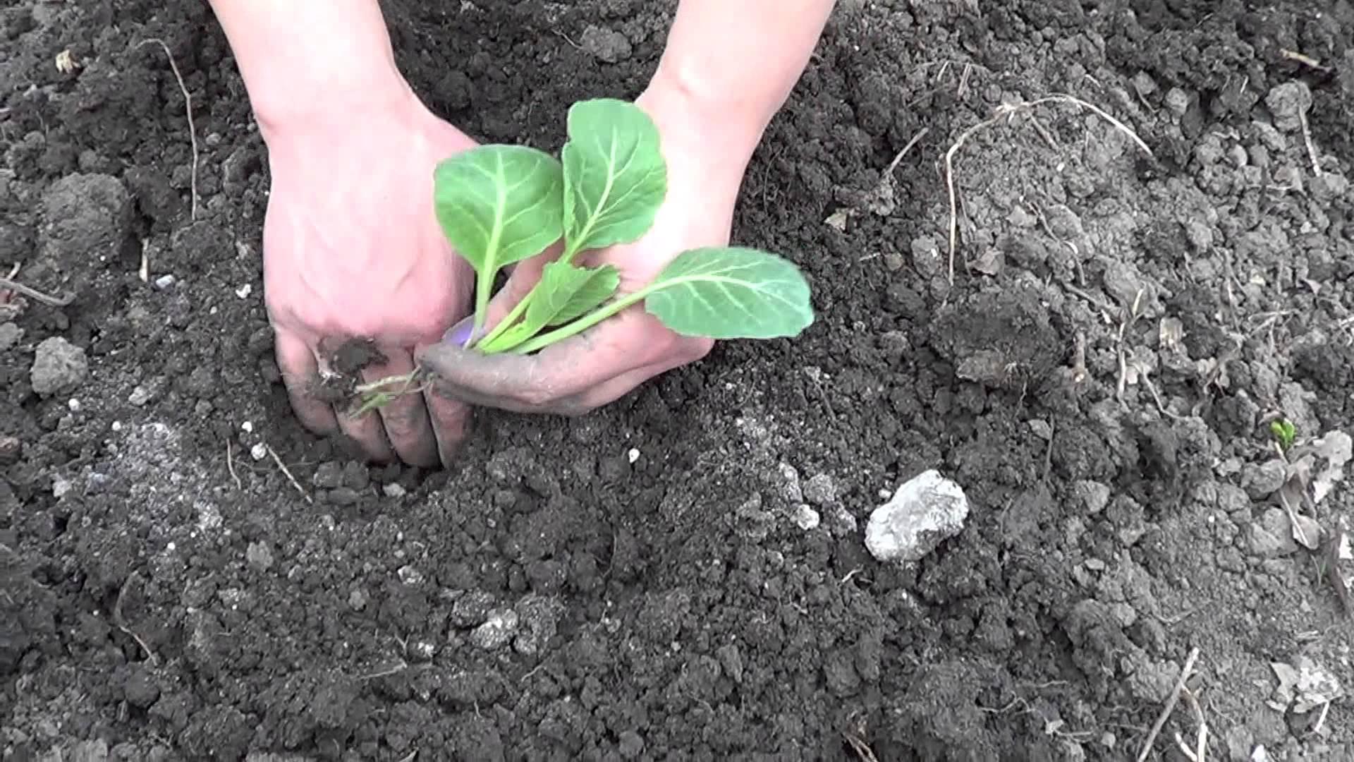 Когда сажать рассаду капусты в Сибири