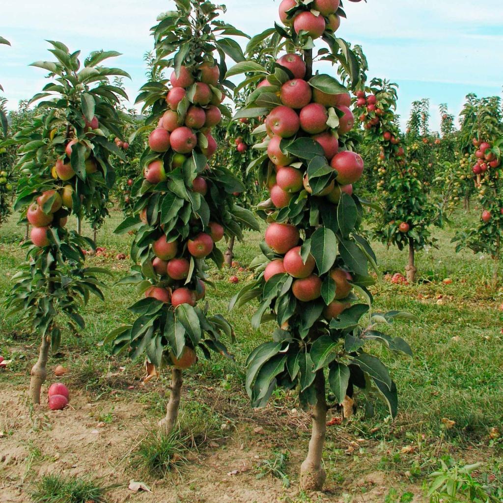Яблоня колоновидная посадка и уход в открытом грунте
