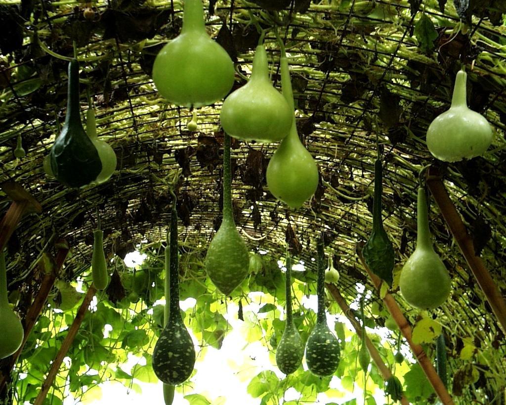 Лагенария – выращивание в открытом грунте и домашних условиях из семян