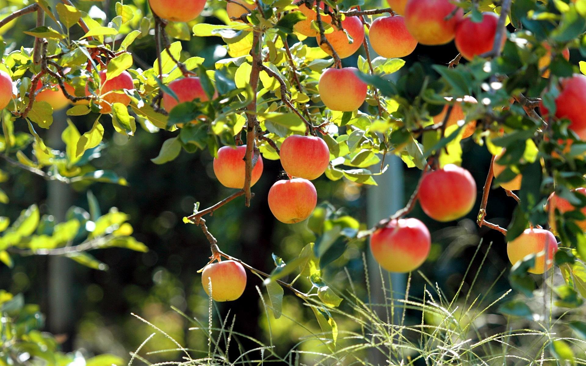 Яблоня иду это растение разных