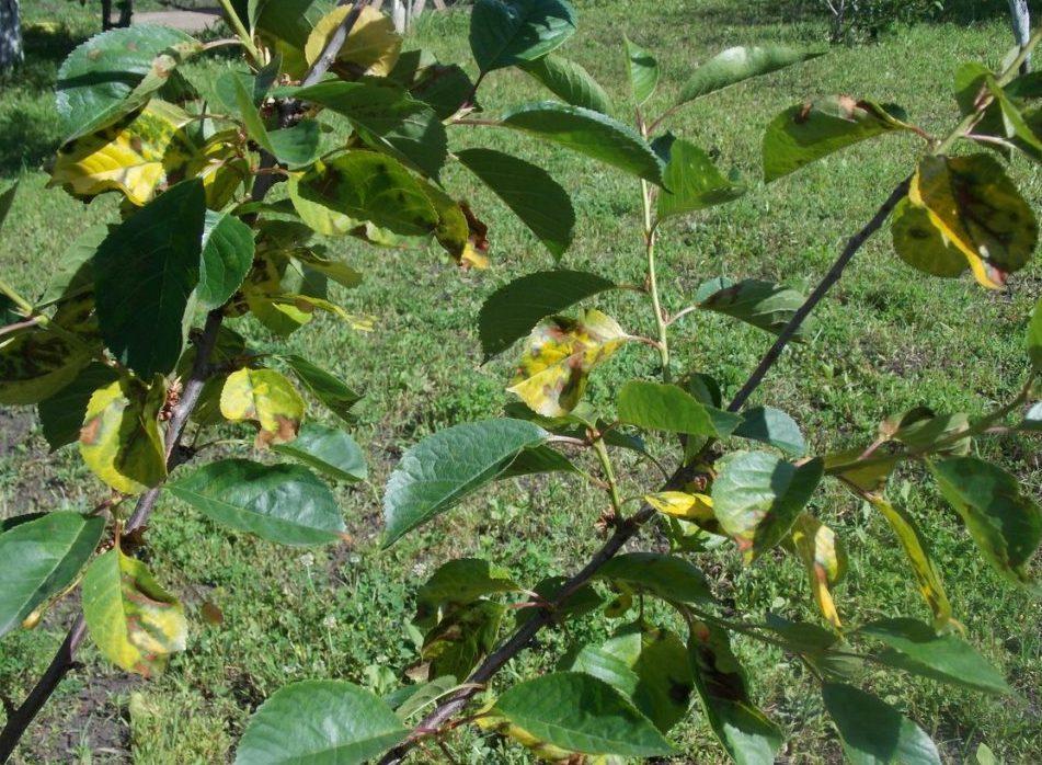 Выращивание черешни в Сибири и на Урале
