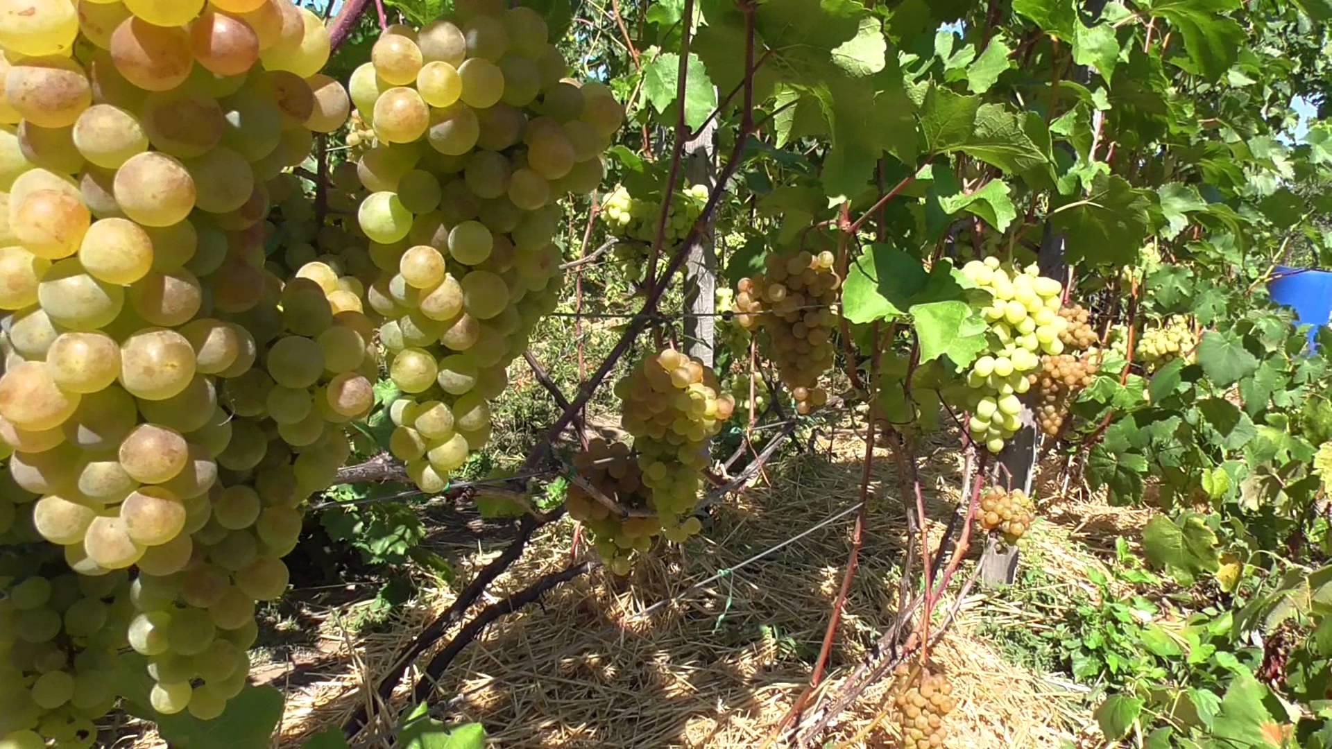 Сорт технического винограда «Платовский»  ВИДЕО