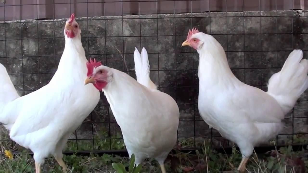 Белые курицы несушки породы
