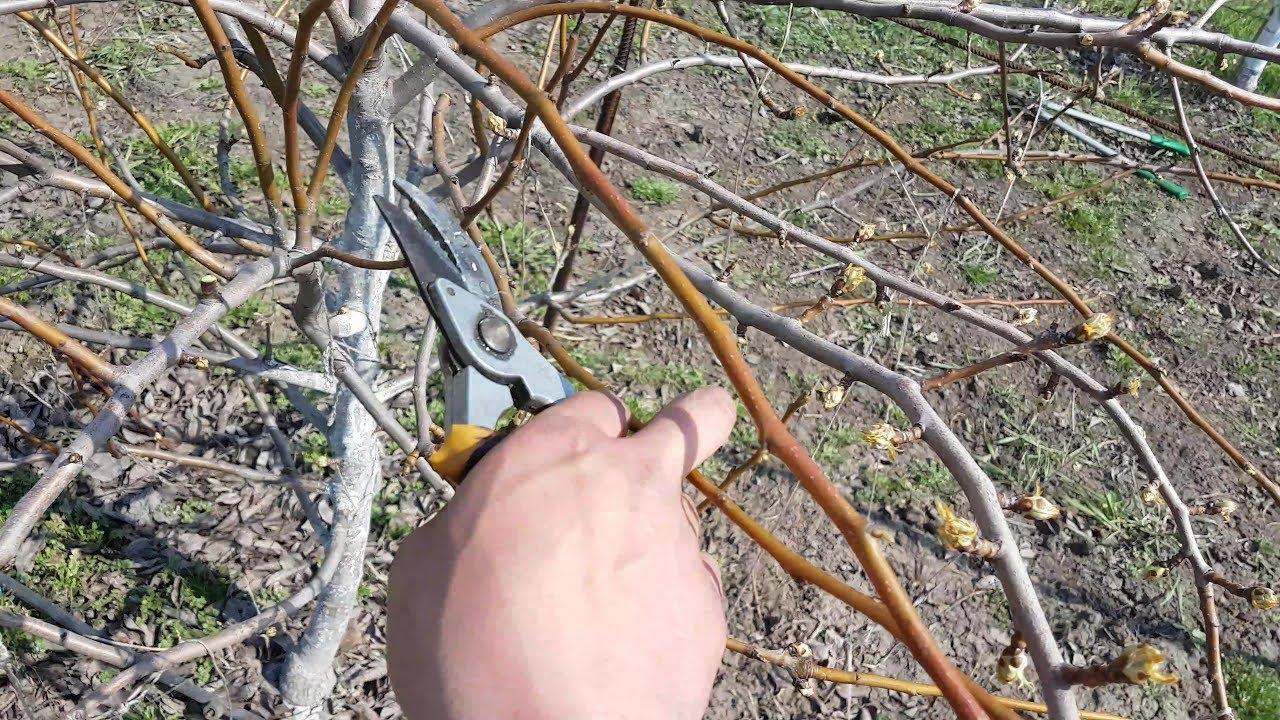 Обрезка груши: когда и как правильно делать, схема формирования кроны для начинающих