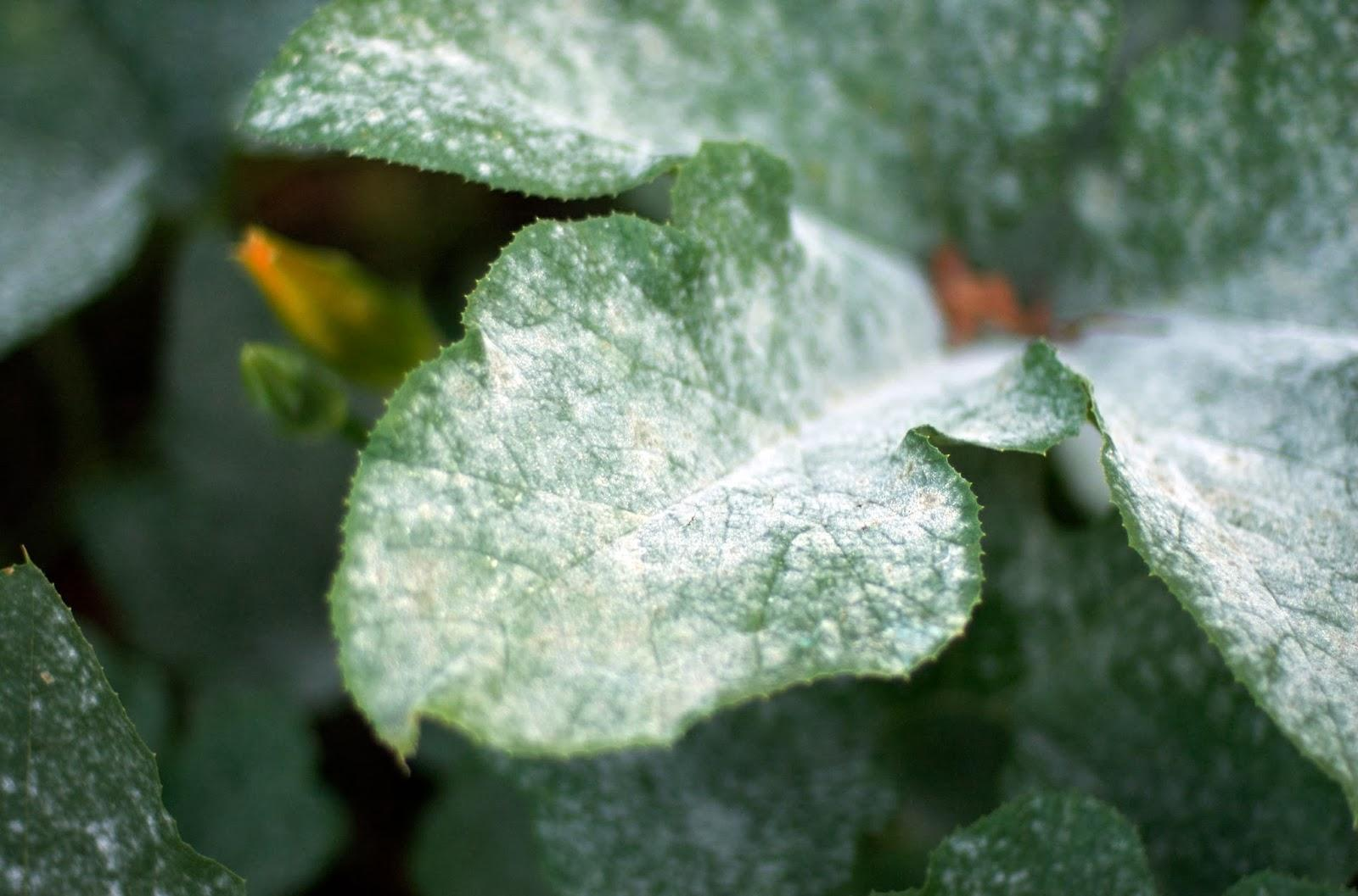 На листьях смородины белый налет – чем обработать