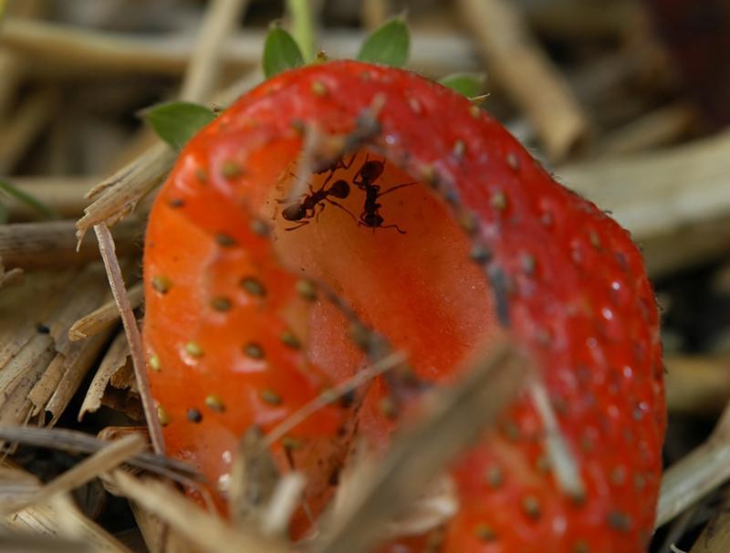 Как бороться с муравьями в клубнике