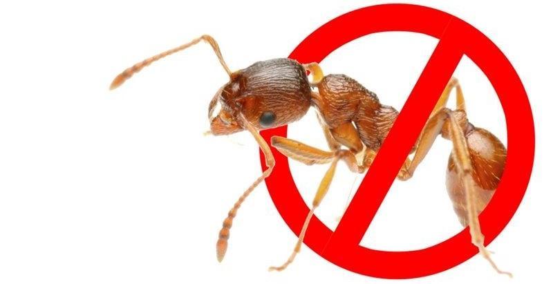 Борная кислота от муравьев и бура: как приготовить отраву для насекомых?