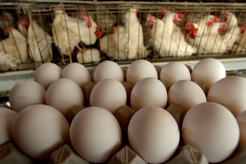 Бройлеры когда начинают нести яйца