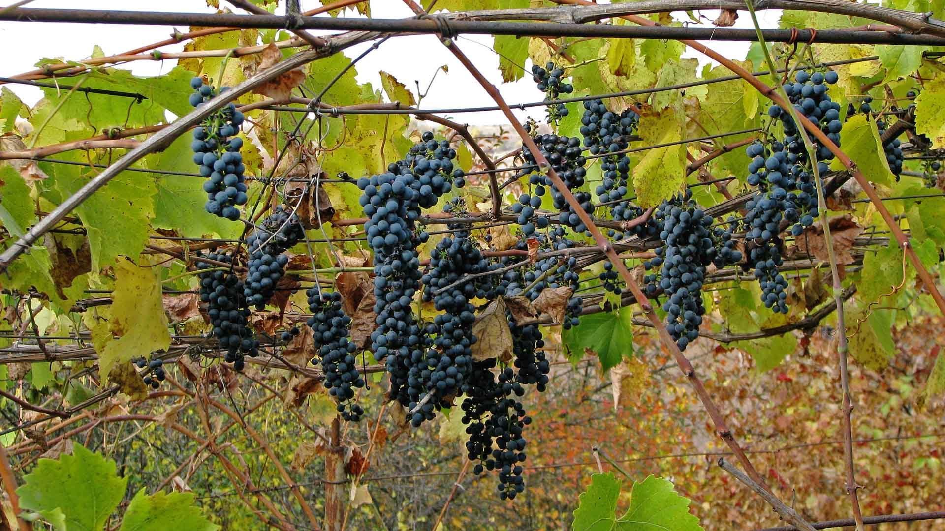 Неукрывные сорта винограда для черноземья