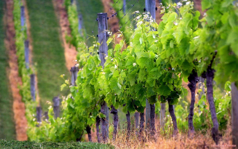 Как обрывать листья у винограда