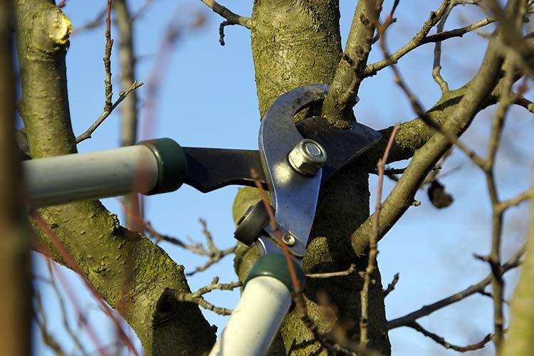 Как вырастить карликовый подвой для яблони