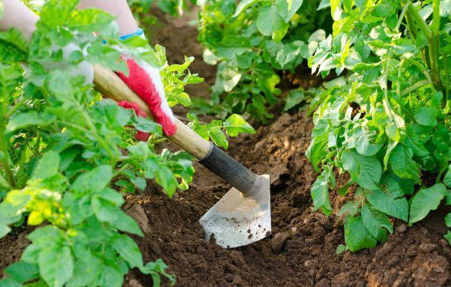 Окучивание картофеля: для чего нужно и почему способствует повышению урожайности, сколько раз и как правильно окучивать, видео