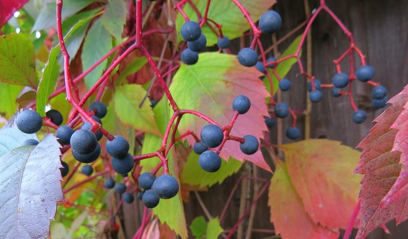 Дикий виноград можно ли есть плоды