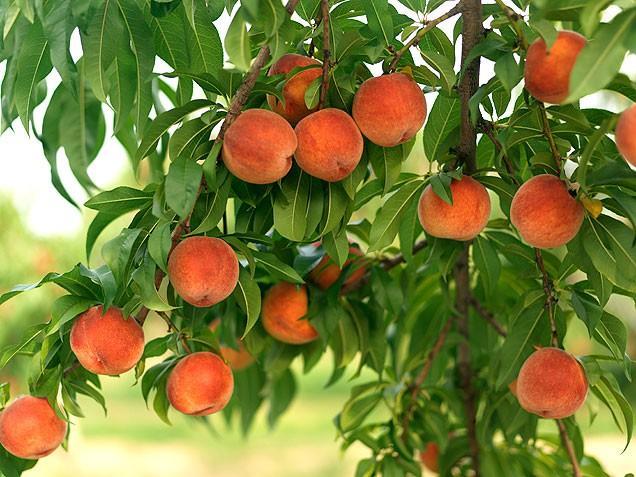 Персик расстояние между деревьями