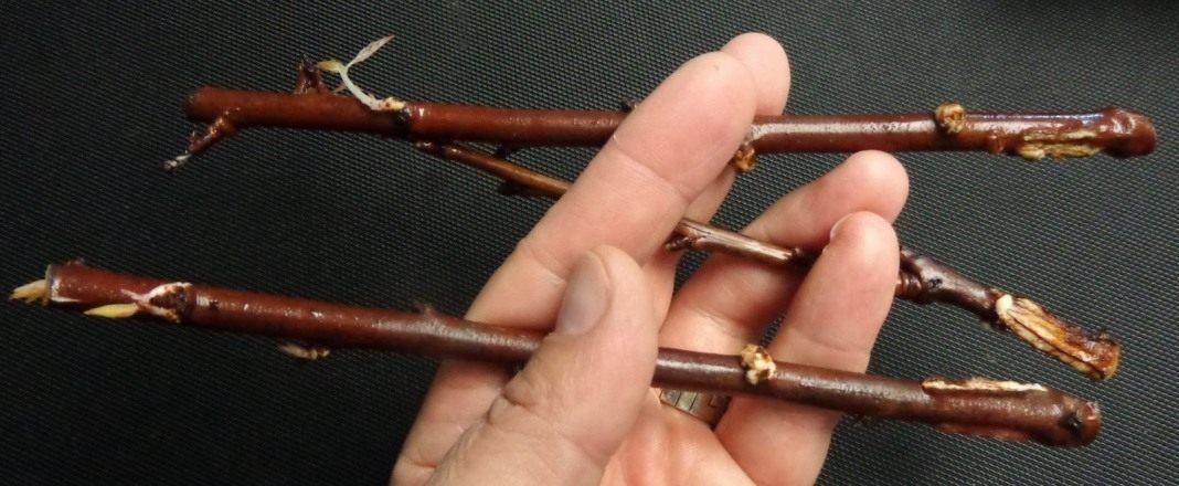 Размножение сливы алычи зелеными черенками летом как вырастить весной