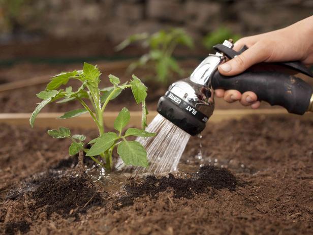 томат перцевидный характеристика и описание сортов особенности посева и выращивания