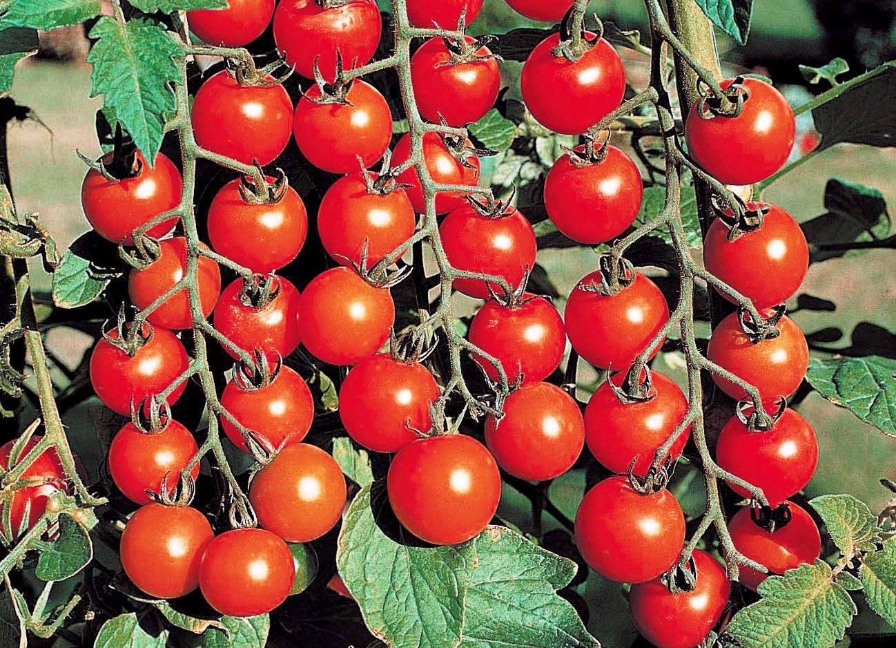 помидоры черри фото куста конечно
