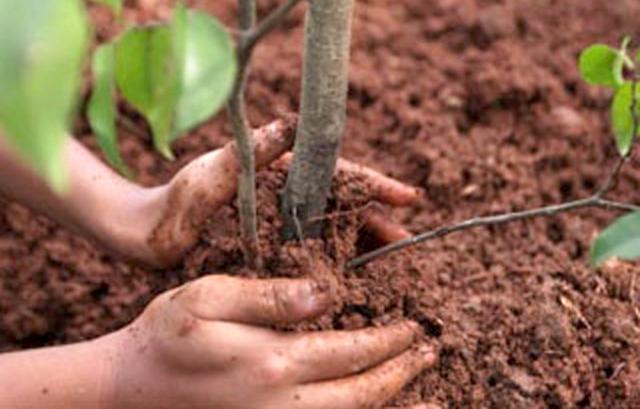 Выращивание абрикосов на Урале в открытом грунте описание зимостойких сортов и уход