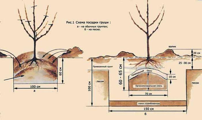 Описание и характеристики сорта груши Память Яковлева посадка и уход