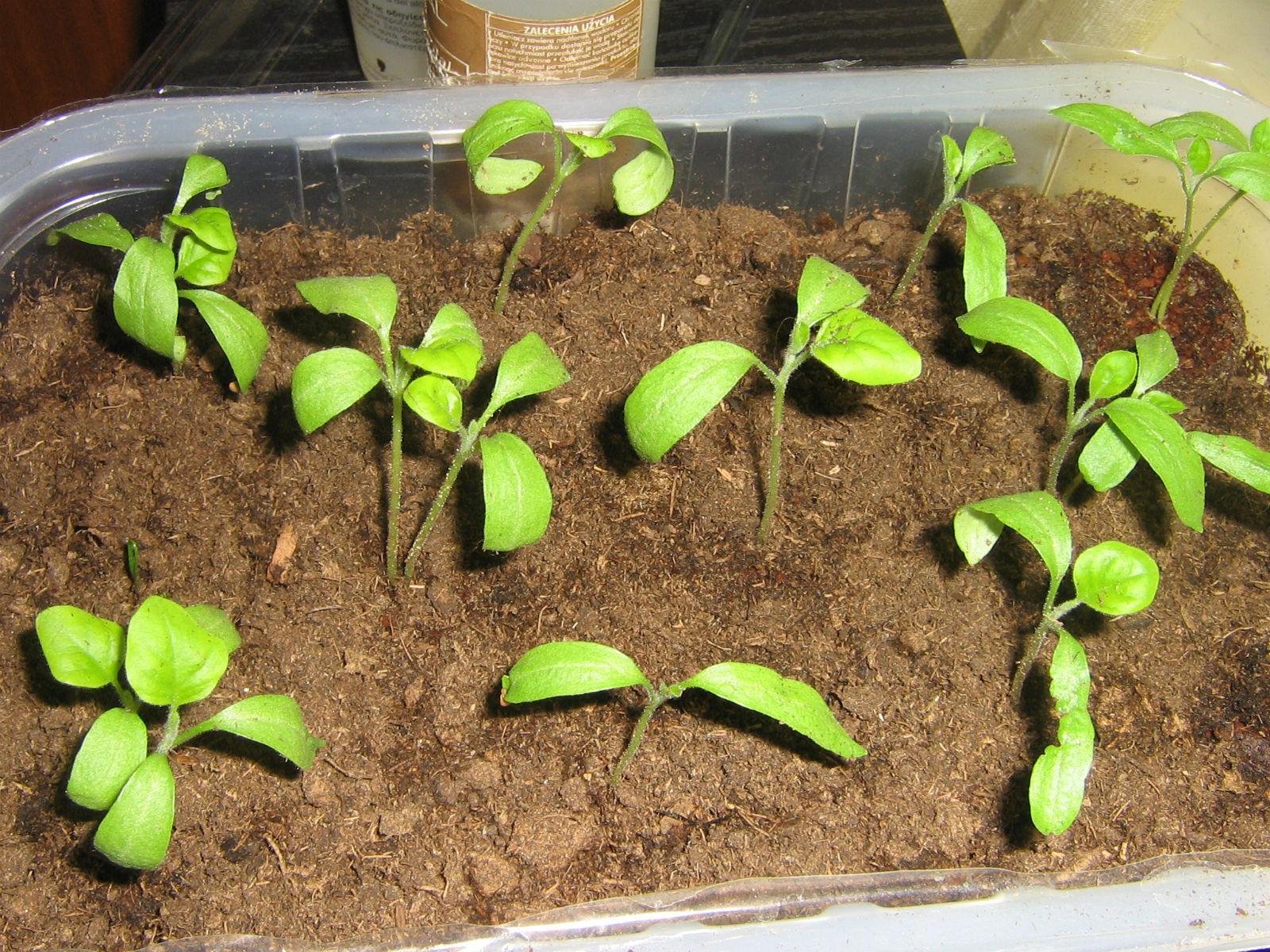 закрутились семядольные листочки у рассады баклажан