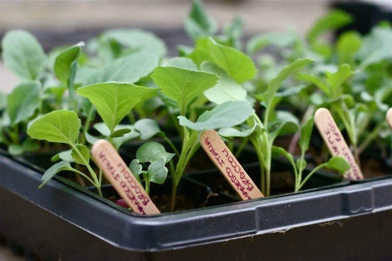 урожайный огород пикировка капусты