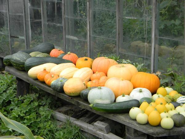 Можно ли сажать рядом огурцы и кабачки совместимость овощей