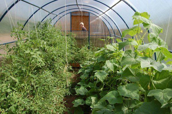 Как выращивать в теплице помидоры и огурцы вместе?