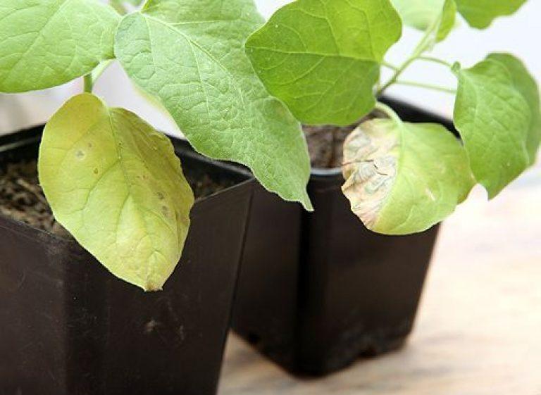Почему сохнут листья у рассады баклажан