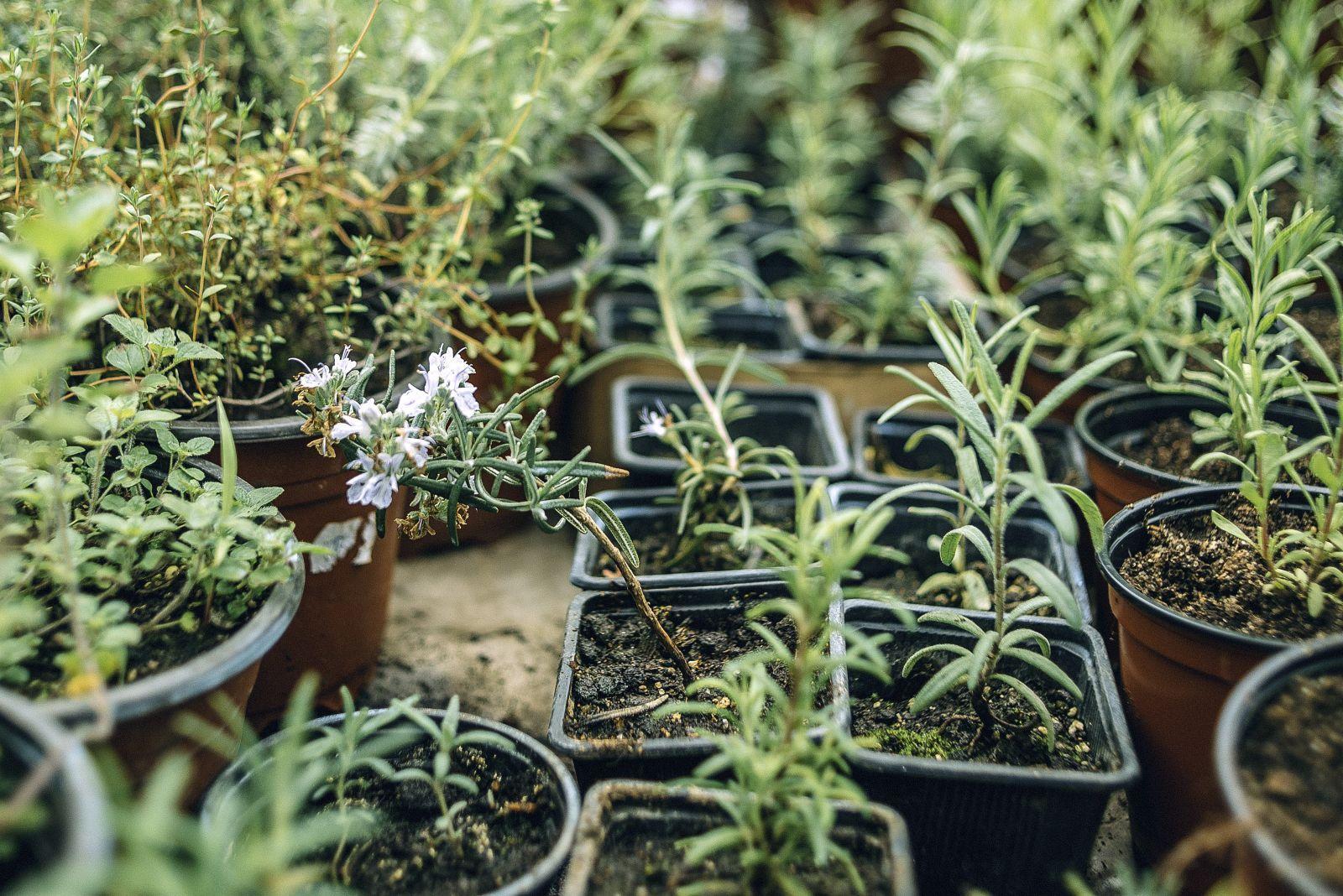 Розмарин – выращивание в открытом грунте Подмосковья и других регионов, условия ухода и фото
