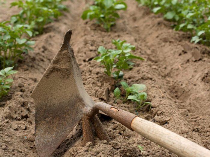 Картофель скарб его характеристика вкусовые качества урожайность