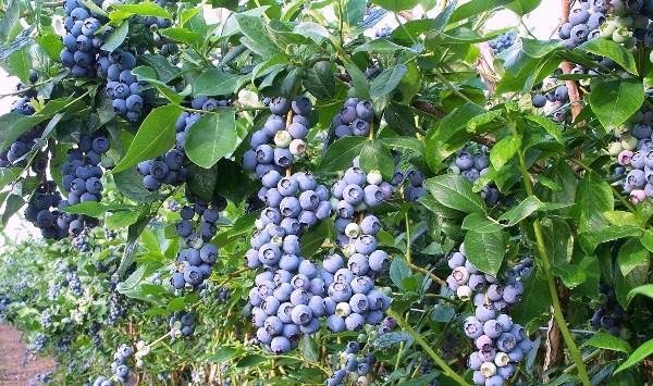 Уход за садовой черникой осенью