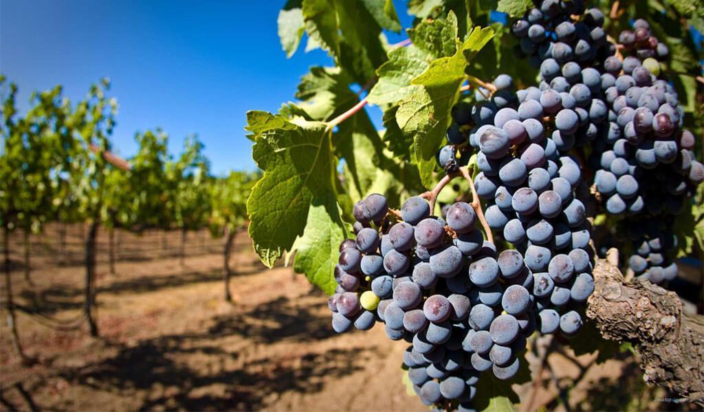 Грузинский сорт винограда Саперави — все про выращивание и уход