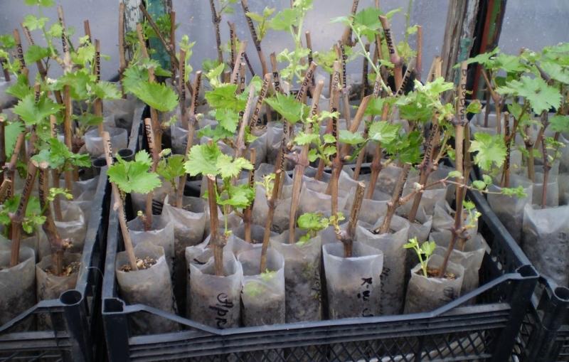 Виноград лидия польза и вред описание сорта преимущества и недостатки
