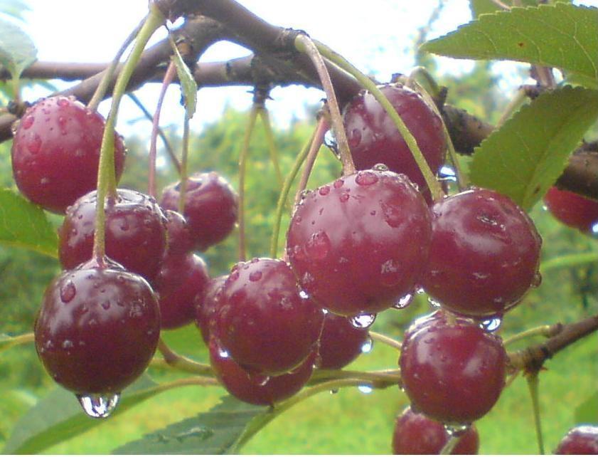 Какой сорт вишни самый сладкий