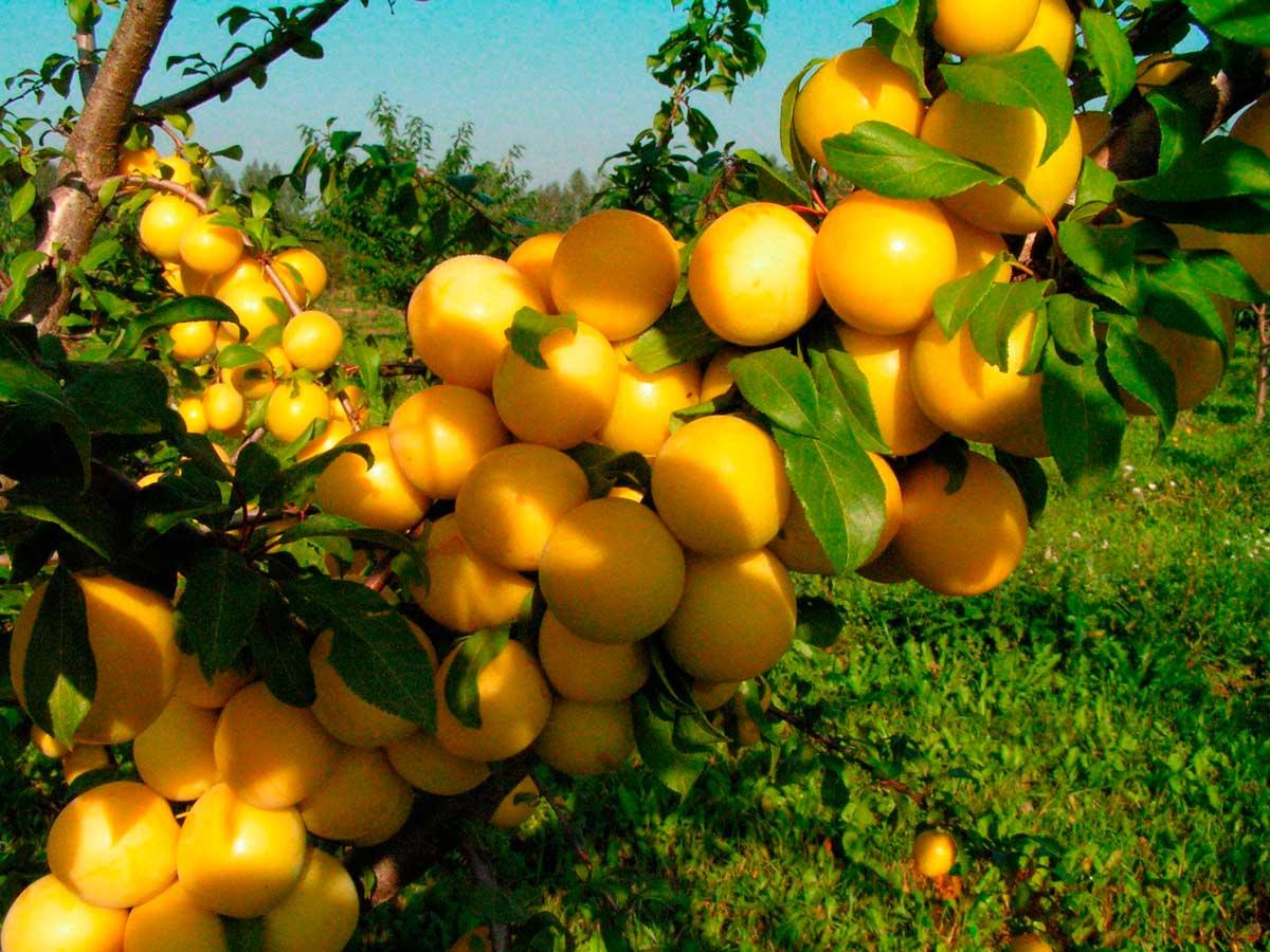 Красивые плоды и отличные вкусовые качества демонстрирует слива сорта Этюд