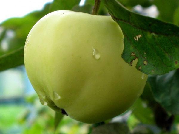 Агротехника выращивания яблони папировка - АгрономWiki