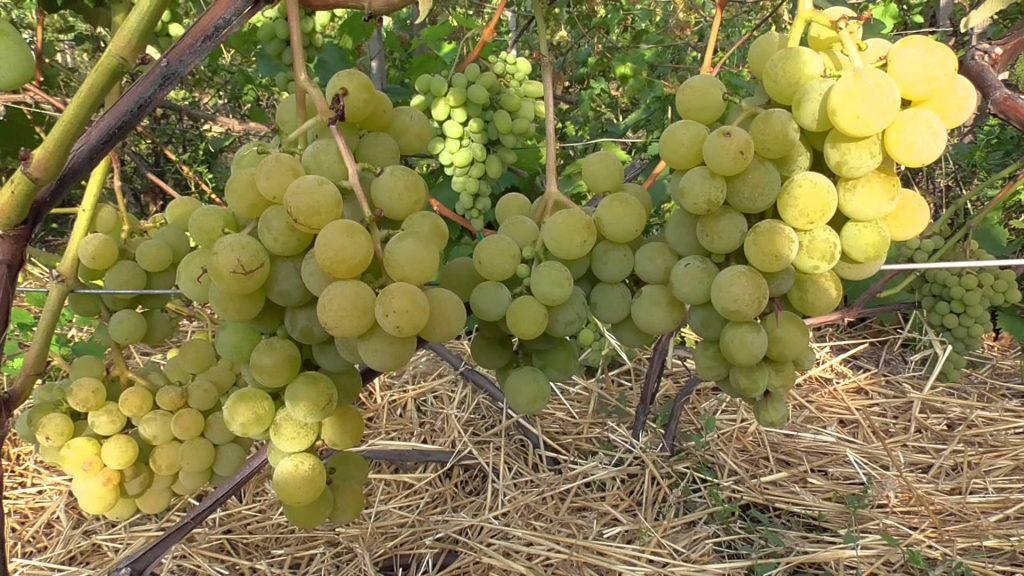 Неукрывной технический виноград