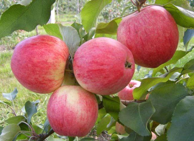 Яблоня — посадка, уход, выращивание и сорта