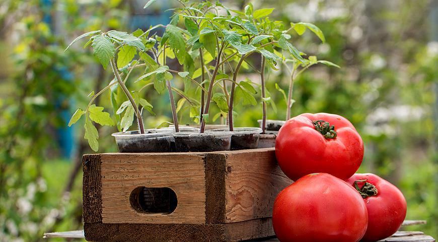 Томат Малиновый чудо описание и характеристики серии сортов помидор