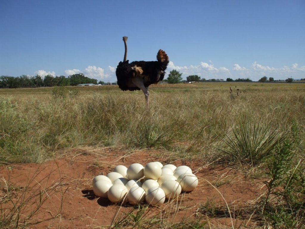 Как часто несутся страусы сколько яиц в месяц