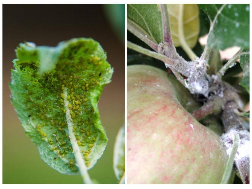 Опрыскать яблоню от тли