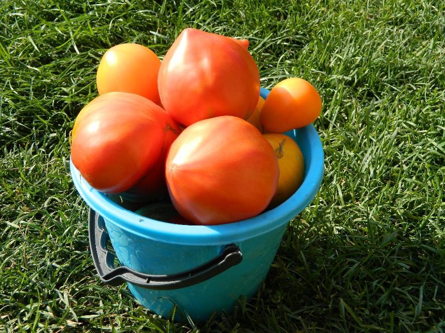 сильная помидоры в ведре картинки общими
