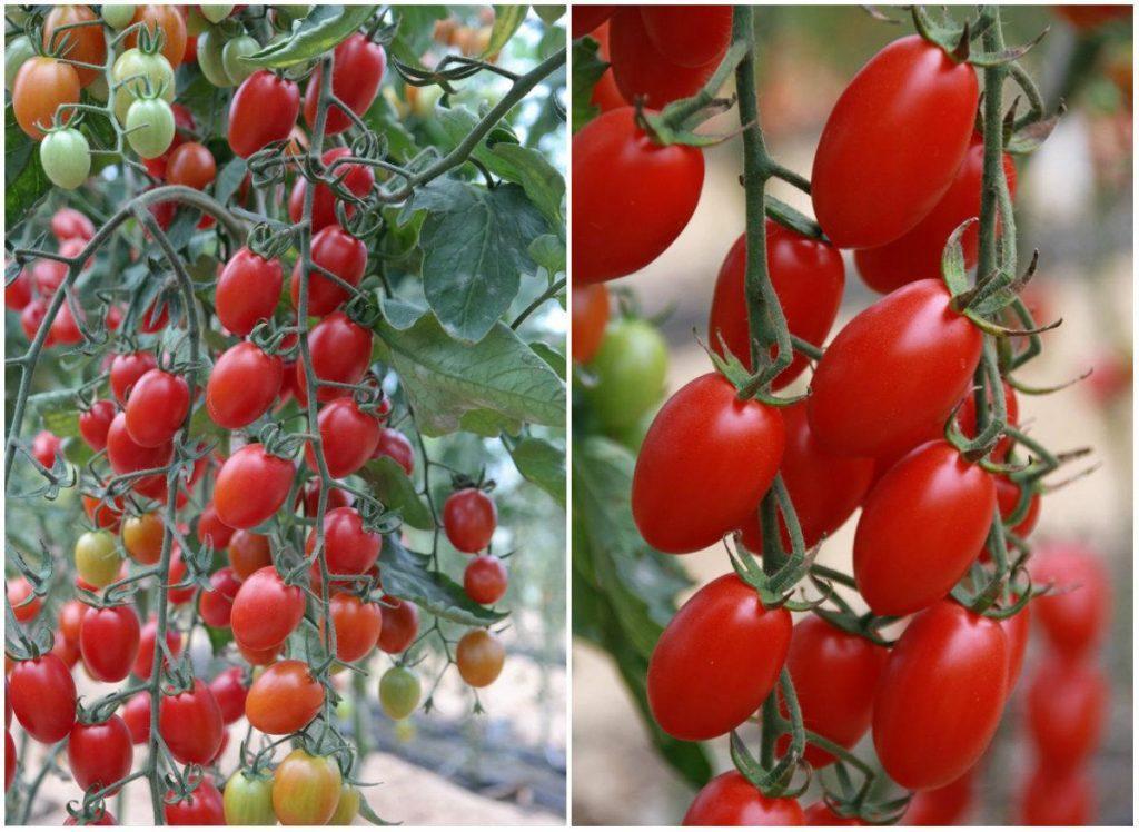 Лучшие сорта томатов Черри: обзор помидоров с описанием и фото