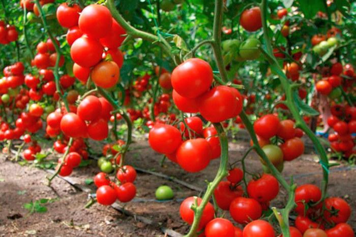 Какая почва нужна для томатов в теплице