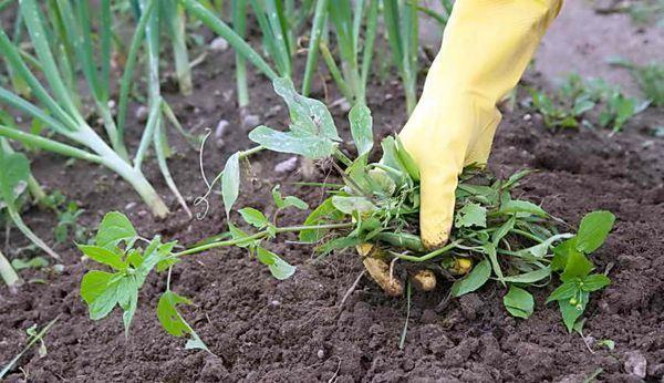Руккола: выращивание из семян в домашних условиях, посадка и уход в открытом грунте