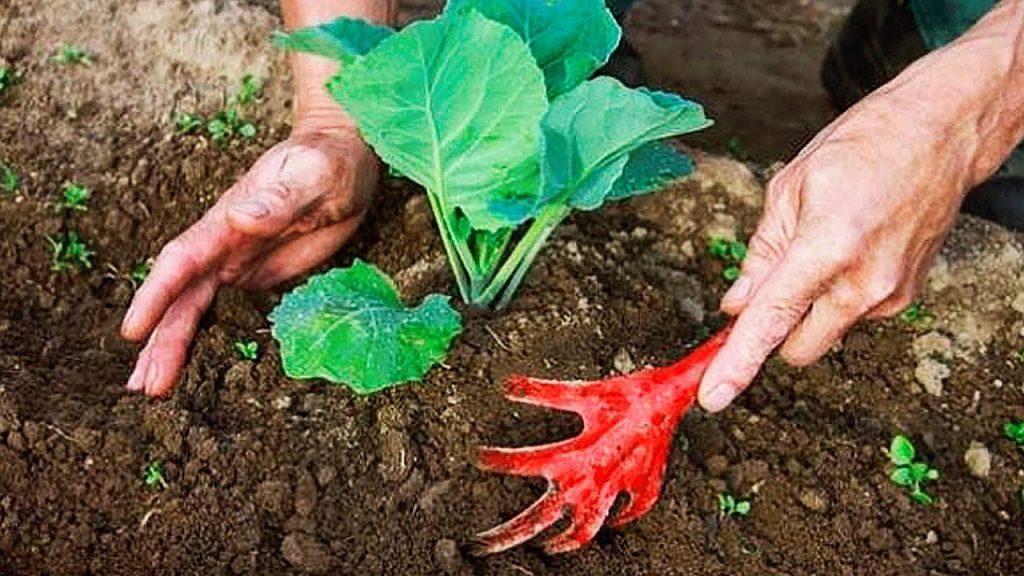 Как сажать капусту семенами в открытый грунт подготовка почвы посев уход